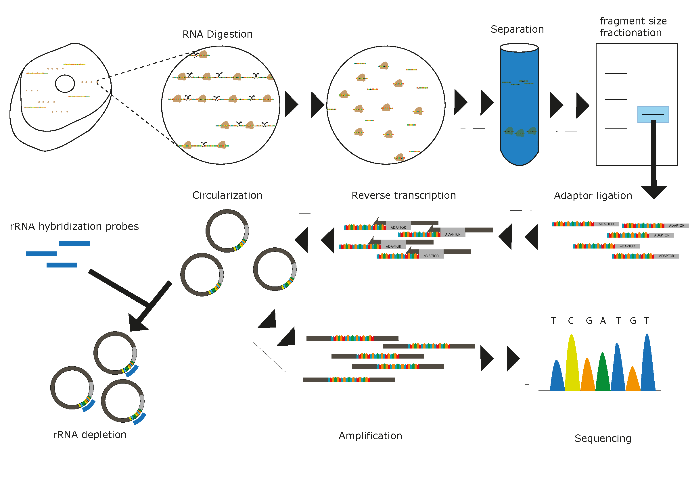 Sorfs repository of small orfs identified by ribosome profiling ribo seq overview first cell lysates are prepared in conditions accurately reflecting in vivo translation secondly addition of nucleases will digest rna pooptronica